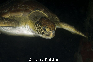 Beautiful green turtle cruising on a night dive by Larry Polster