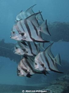 Atlantic Spadefish by Abimael Márquez