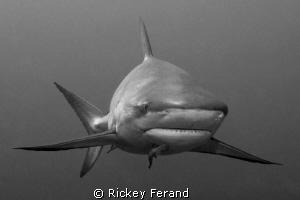 B/W Caribbean Reef Shark by Rickey Ferand