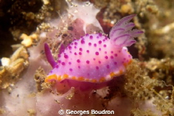 mini-nudi of lembeh by Georges Boudron