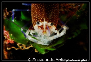 Shrimp by Ferdinando Meli