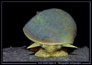 Face to face with this Freshwater snail... :O)... by Michel Lonfat