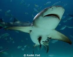 žralok citronovy by Radim Fort