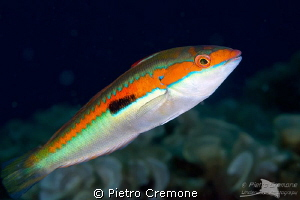 Wrasse by Pietro Cremone