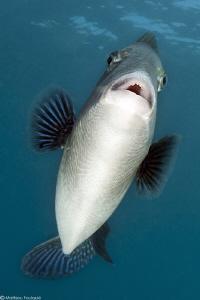 mediterranean triggerfish face by Mathieu Foulquié