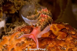 Color on color. A hiltons nudibranch cruises across a spo... by Douglas Klug