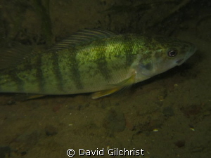 Perch sp. Niagara River Night Dive by David Gilchrist