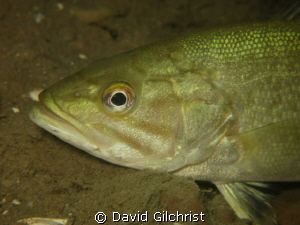 Bass portrait, Niagara River Night Dive by David Gilchrist
