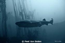 Dark Knight. Primitive sevengilled cow shark in a sea kel... by Peet Van Eeden