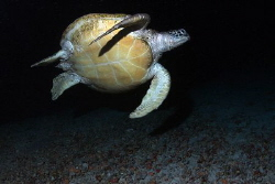 Green Sea Turtle at Night in Cave by Martin Dalsaso