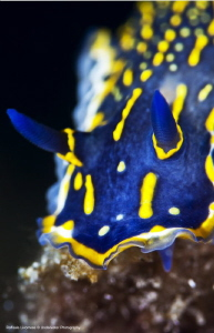 hypselodoris picta by Raffaele Livornese