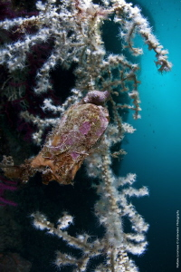 egg of scyliorhinus canicula on savalia savaglia by Raffaele Livornese