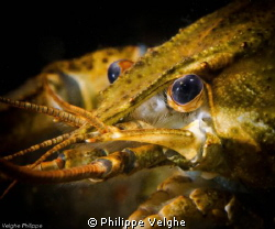 Crayfish by Philippe Velghe