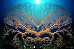 crazy gorgonian by Ilan Lubitz