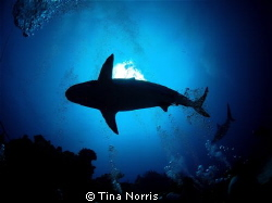 Sharks in Roatan, Honduras by Tina Norris