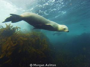 Sea Lion at Ship Rock off Santa Catalina island. by Morgan Ashton