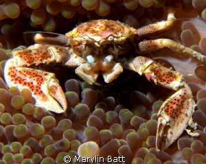 Porcelain Crab by Marylin Batt