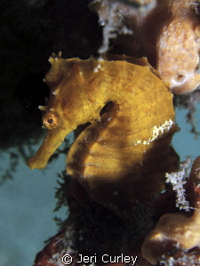 Seahorse find at Blue Heron! by Jeri Curley