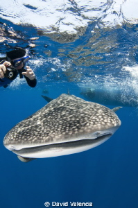 A curious whale shark swims with a lucky snorkeler. by David Valencia