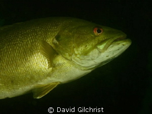 Bass beneath the Piers-one of the resident bass at the Sw... by David Gilchrist