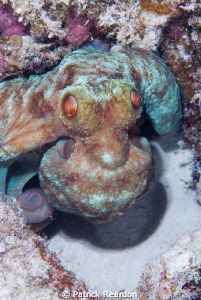 Octopus doing a very good alien impression on a night dive. by Patrick Reardon