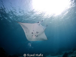 Snorkeling with manta ray. Sangalaki island. by Syed Hafiz