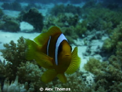 Inquisitive Clown Fish by Alex Thomas