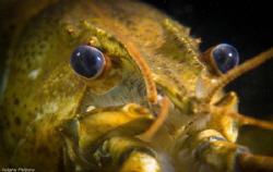 Crayfish series. by Philippe Velghe
