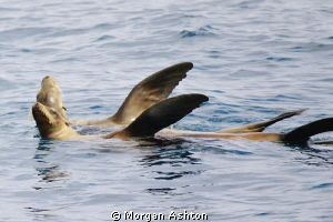 Sea lions synchronized sunbathing. On top of Farnsworth R... by Morgan Ashton