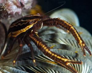 Crinoid squat lobster  Nikon D3s, 105 mm macro lens, +5 ... by Iyad Suleyman