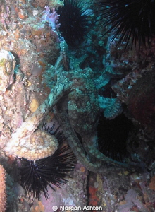 Octopus on Farnsworth Reef, Catalina. by Morgan Ashton
