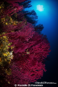 Gorgonian Fan by Marcello Di Francesco