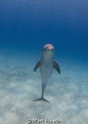 Bottlenose Dolphin by Matt Heath