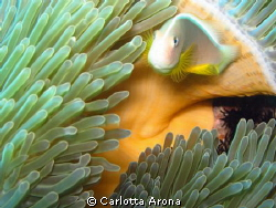 Anemone fish by Carlotta Arona