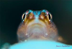 shiny goby eyes by Doris Vierkötter