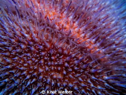 a close up on a sea urchin by Knut Wester