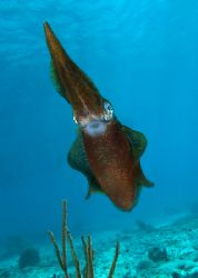 This curious reef squid happily posed for the camera. Sho... by Maryke Kolenousky