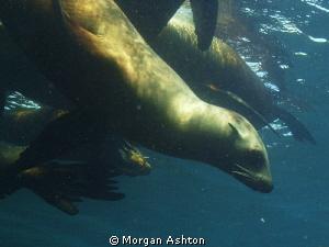 Breaking Away. Sea Lion at Ship Rock, Catalina. by Morgan Ashton