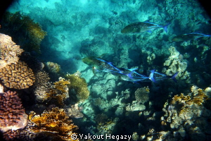 bluefin trevally by Yakout Hegazy