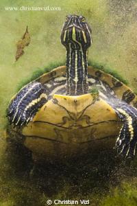Turtle at Cenote Chikin Ha, Quintana Roo, Mexico.  by Christian Vizl