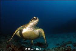 friendly turtle at Antons Reef Sodwana bay! by Bryan Hart
