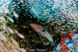 Red mouth grouper and glass fish by Gleb Tolstov