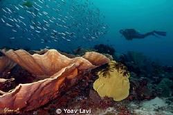 corals and diver by Yoav Lavi