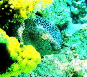 Giant moray by Yakout Hegazy