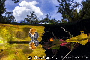 Snail and water plants at a mexican cenote.