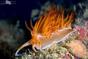 Dondice banyulensis by Pietro Cremone