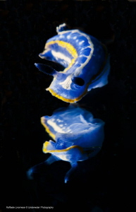 Hypselodoris tricolor, with mirror effect (done with mirr... by Raffaele Livornese