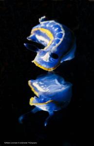 Hypselodoris tricolor, with mirror effect (done with mirr... by Raffaele Livornese