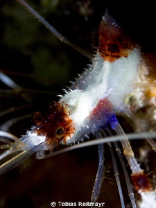 Banded Coral Shrimp at night, Hammerhead Gulch, Exumas by Tobias Reitmayr