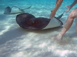 Stingray City Grand Cayman Islands. Olympus 5050 PT-015 h... by Steven Pahel